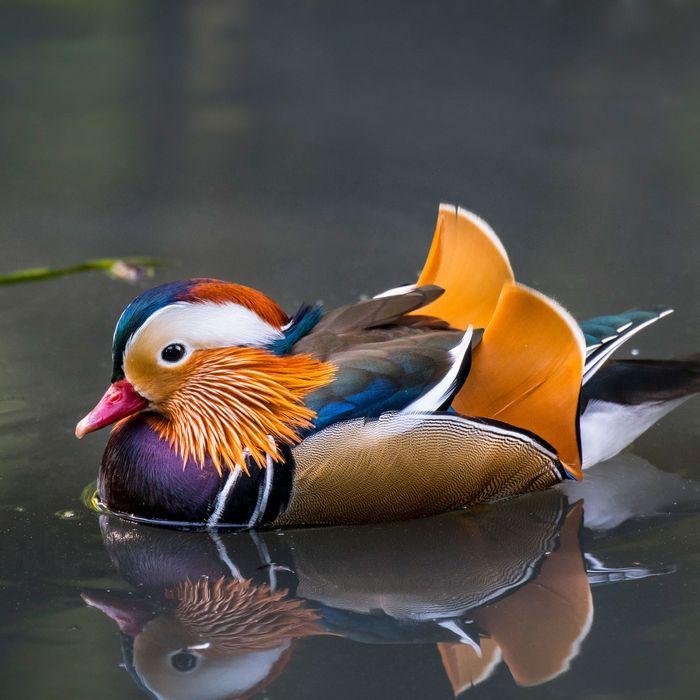 A male mandarin duck.