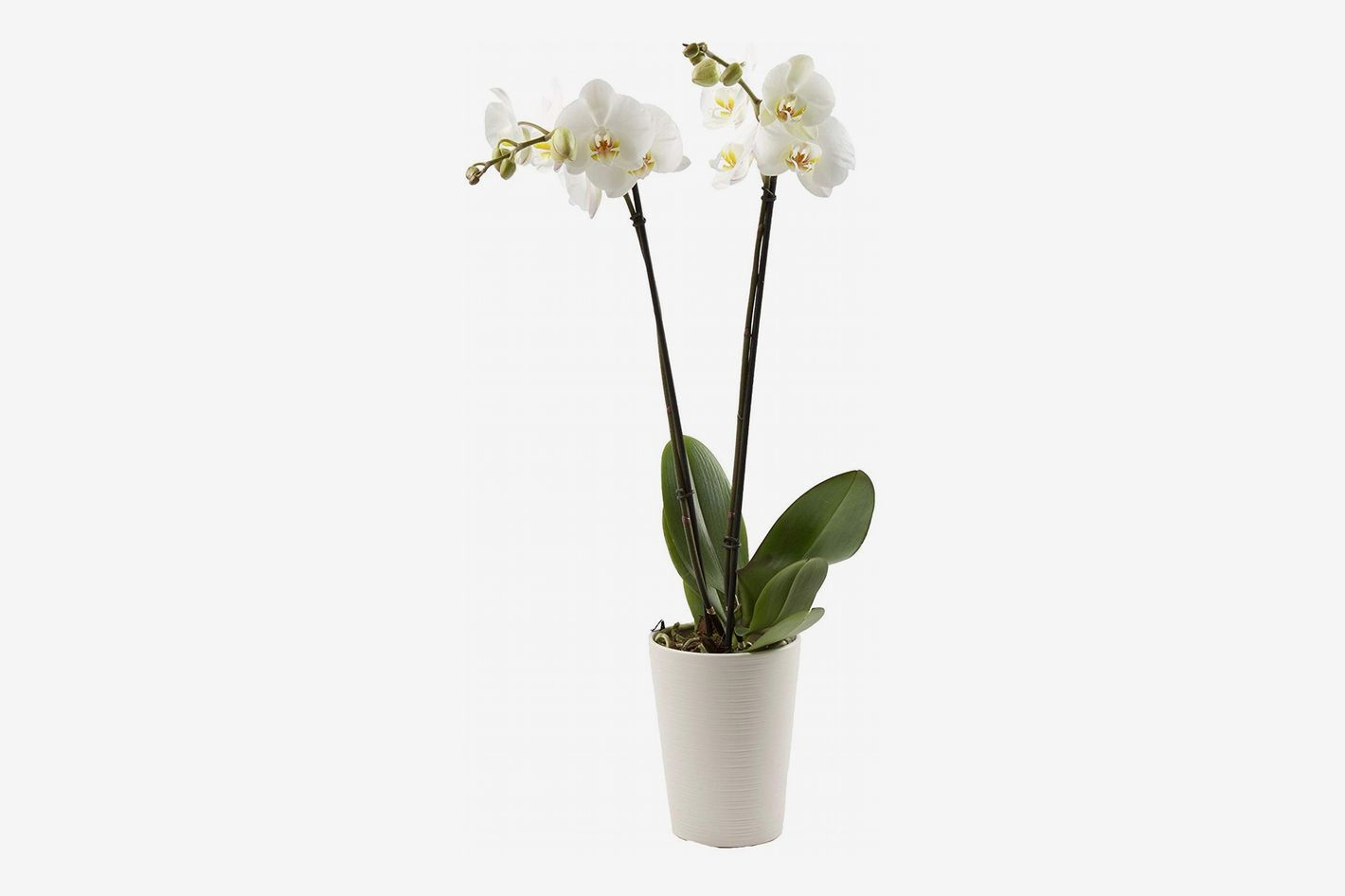 "Color Orchids Live Blooming Double Stem Phalaenopsis Orchid Plant in Ceramic Pot, 20"" x 24"", White Blooms"