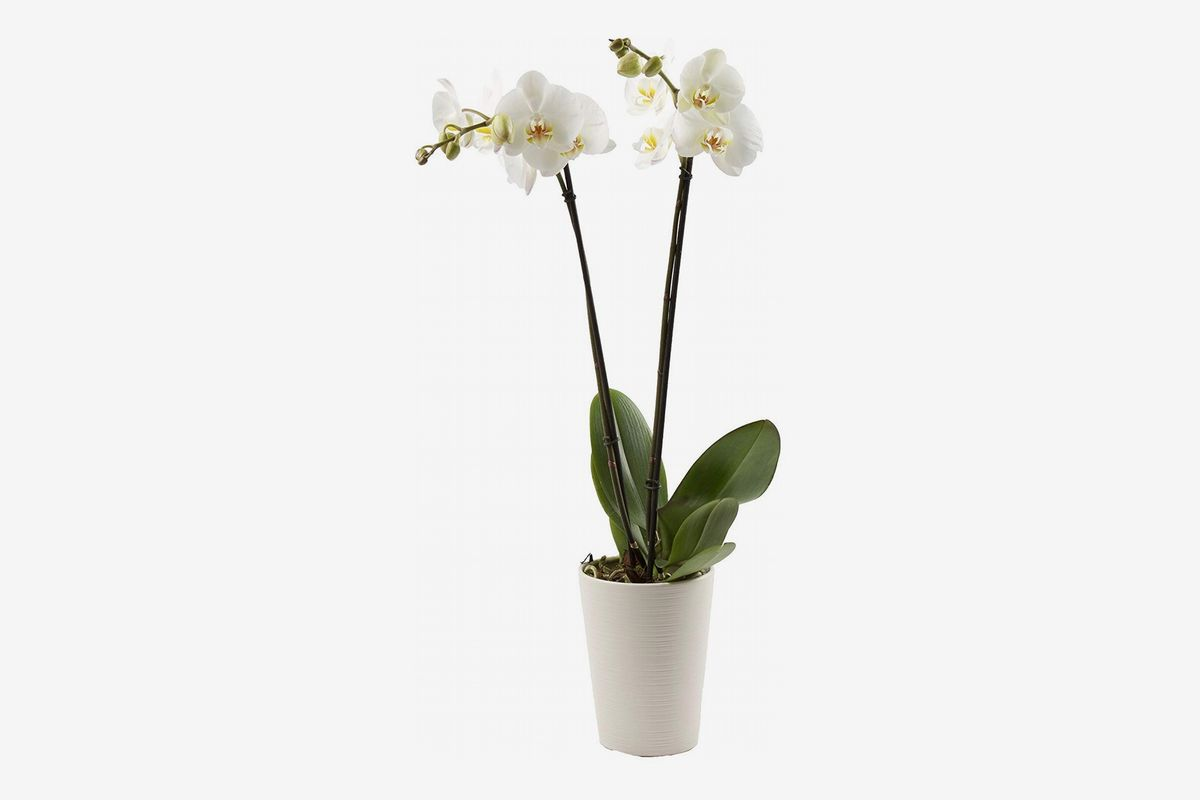 Orchid Care How To Care For Orchids The Strategist New York