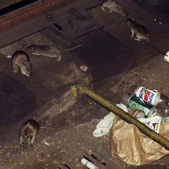 Rats on the subway tracks at the 53rd. St. station.