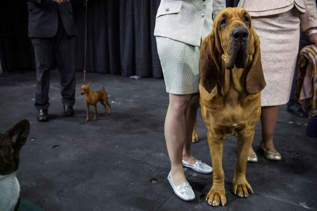 NEW YORK, NY - FEBRUARY 11:  Nathan, a bloodhound, waits to compete in the Best in Show category in the Westminster Dog Show on February 11, 2014 in New York City. The Best in Show award went to Sky, a wire fox terrier.  (Photo by Andrew Burton/Getty Images)