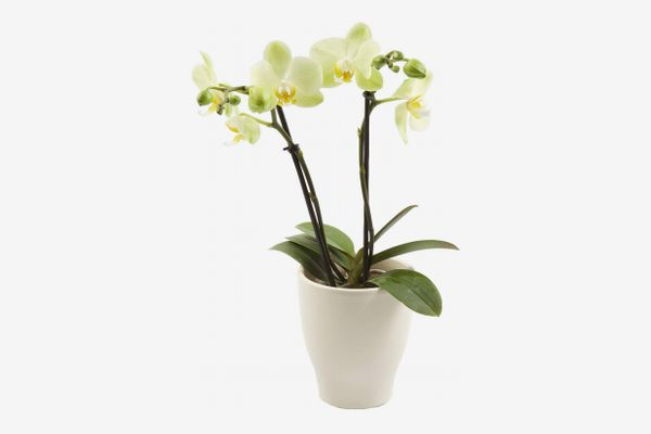 "Color Orchids Live Blooming Double Stem Phalaenopsis Orchid Plant in Ceramic Pot, 15""-20"" Tall, Yellow Blooms"