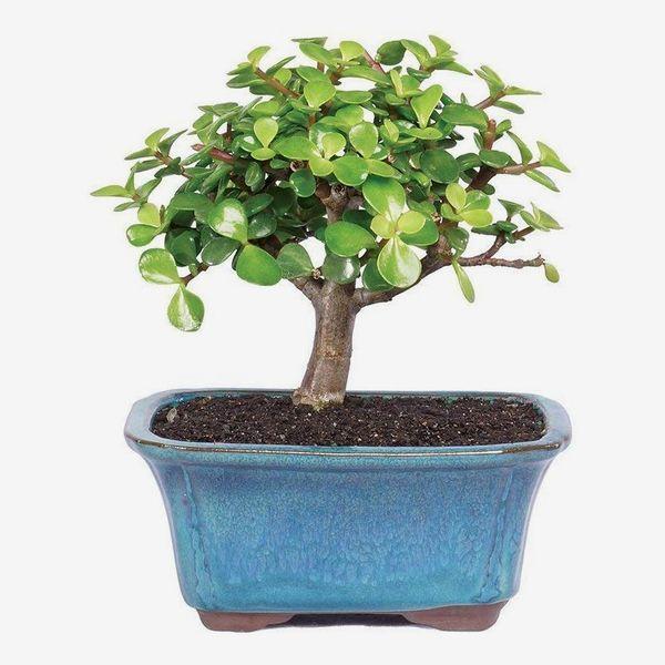 Brussel's Bonsai Live Dwarf Jade Indoor Bonsai Tree
