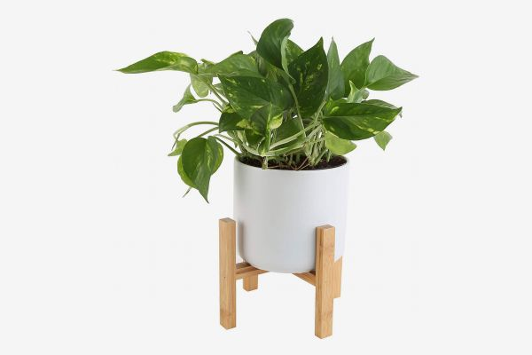 Costa Farms Golden Pothos