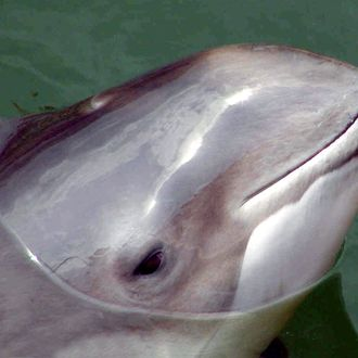 06 Jun 2003, Westerland, Sylt, Germany --- A file picture dated 6 June 2003 shows a porpoise in the North Sea nearby Sylt, Germany. German Baltic Sea waters are, according to the German Maritime Museum, an important habitat for the endangered species of porpoises. A science project that was launched in 2002 found proof, that porpoises come to these waters in spring and summer for matching. The number of porpoises that was counted in spring and summer is higher than in winter. Porpoises match and give birth in spring and summer. Photo: Wolfgang Runge --- Image by ? Wolfgang Runge/dpa/Corbis