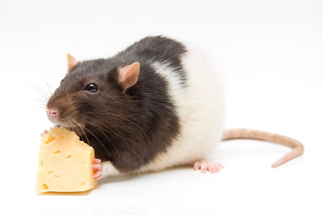 Home rat eating  cheese
