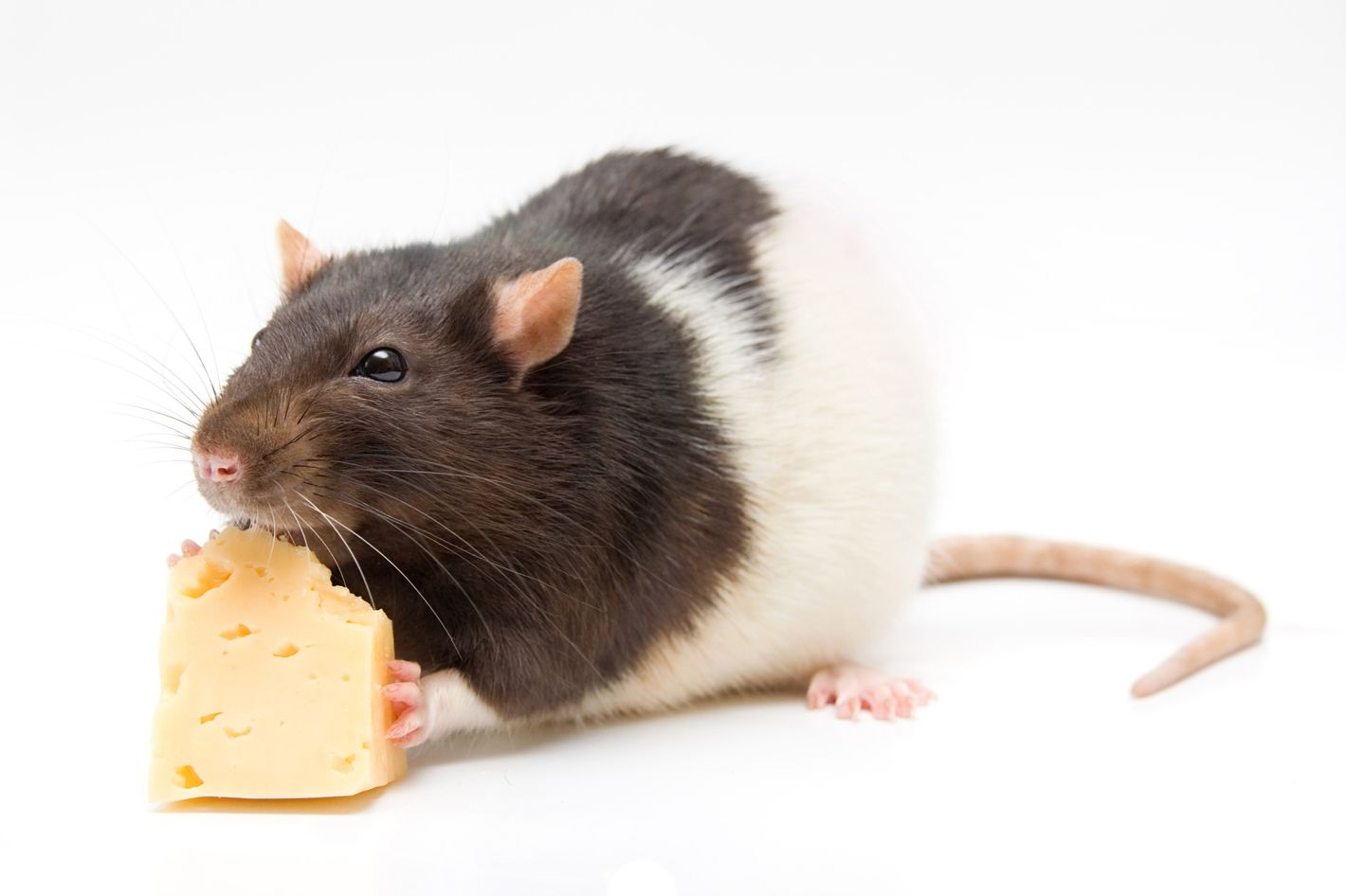 What Could Ireallyi Happen If You Eat Rodent Infected Food
