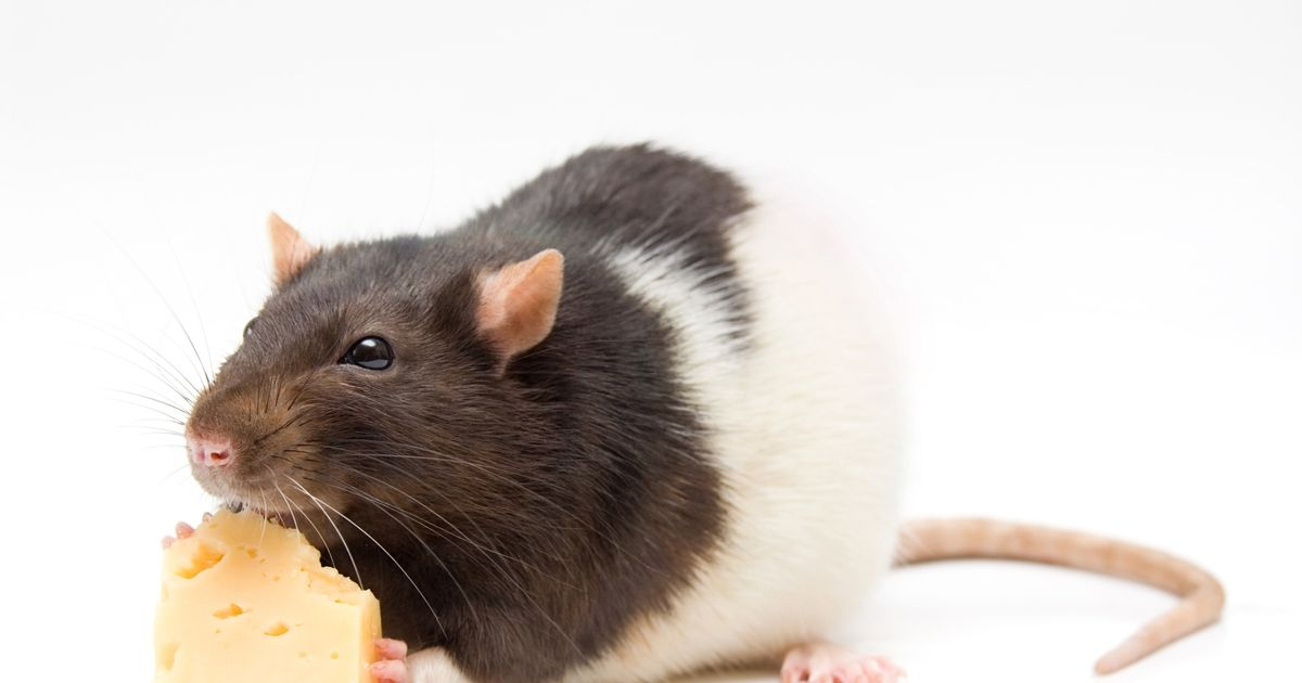 What Could <i>Really</i> Happen If You Eat Rodent-Infected Food?