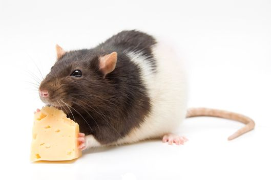 happen   eat rodent infected food