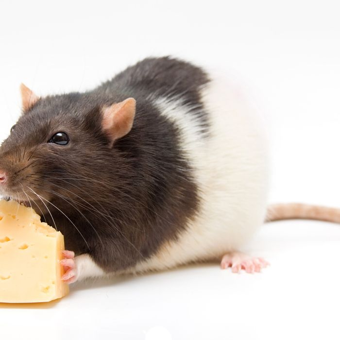 what could i really i happen if you eat rodent infected food