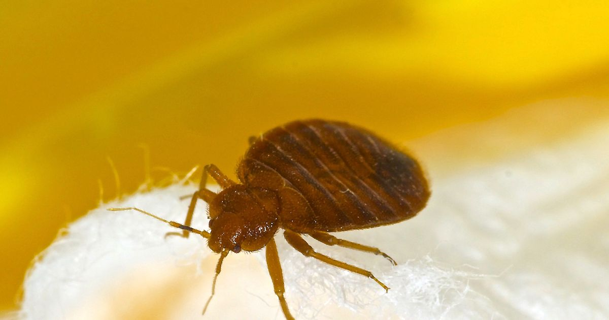 Why Just Reading About Bedbugs Is Making You All Itchy