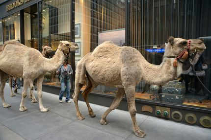 """Camels walk down 51st street to get ready for the The Rockettes """"Living Nativity"""" Dress Rehearsal at Radio City Music Hall on October 25, 2012 in New York City."""