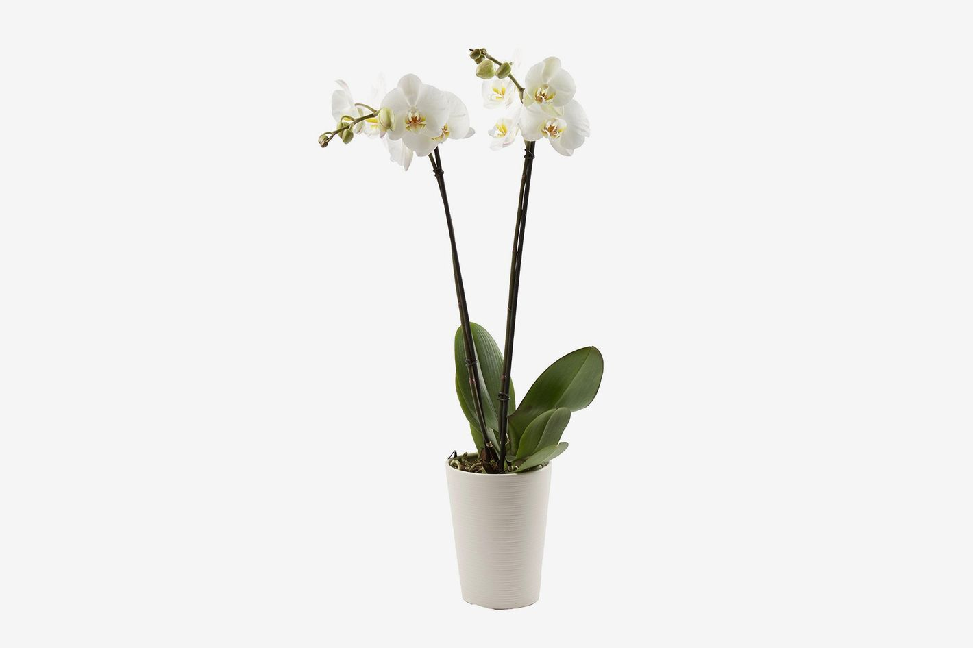 Color Orchids Phalaenopsis Orchid In Ceramic (2-Pack)