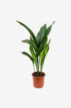 Cast-Iron Plant Aspidistra Elatior