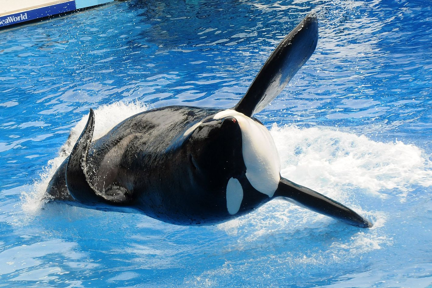 """Killer whale """"Tilikum"""" appears during its performance in its show """"Believe"""" at Sea World on March 30, 2011 in Orlando, Florida."""
