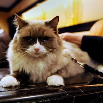 TO GO WITH AFP STORY BY SEBASTIAN SMITH-US-ANIMAL-FOOD-HOTEL-HEALTH-OFFBEAT Matilda III sits with a leash on the front desk counter at The Algonquin Hotel November 22, 2011 in New York. The cat is the Algonquin's most pampered guest but now has to suffer the indignity of being leashed until she understands that due to newly enforced city hygiene rules the lobby has been declared for human use only. The restrictions on Matilda's movements came under pressure from the Department of Health and Mental Hygiene, which grades eating establishments around the city and can ruin an outlet's reputation by awarding a dreaded