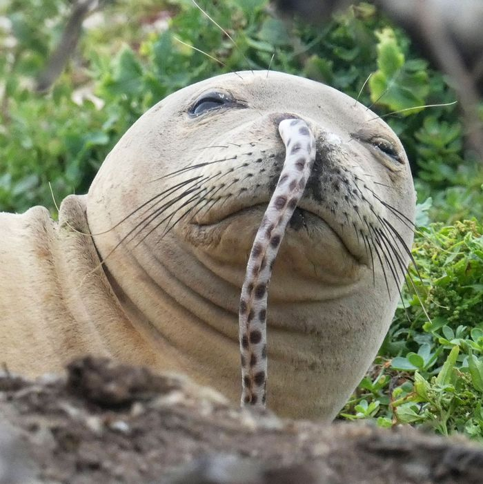 Photo Of Seal With Eel In Its Nose Goes Viral
