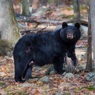 Momma Black Bear