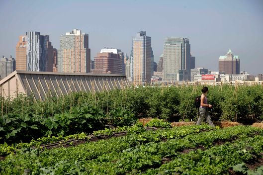 A rooftop garden, made by Brooklyn Grange, is seen in the Brooklyn Navy Yards in the Brooklyn section of New York, Thursday, Aug. 2, 2012.  Brooklyn Grange, a commercial farm, currently works two rooftop farms in city, both over an acre, and sell their produce to local restaurants, grocers and at farm stands. (AP Photo/Seth Wenig)