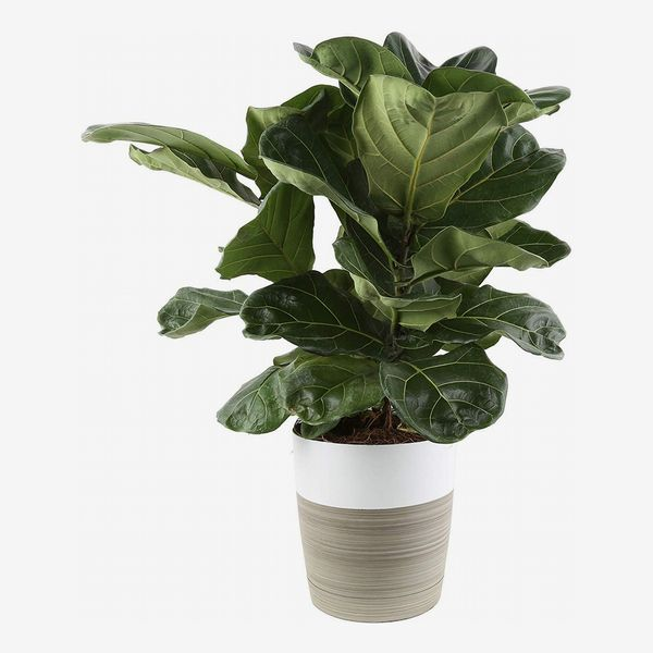 Costa Farms Fiddle-Leaf Fig in a striped grey-brown and white pot with large dark green leaves. The Strategist - Costa Farms Fiddle-Leaf Fig
