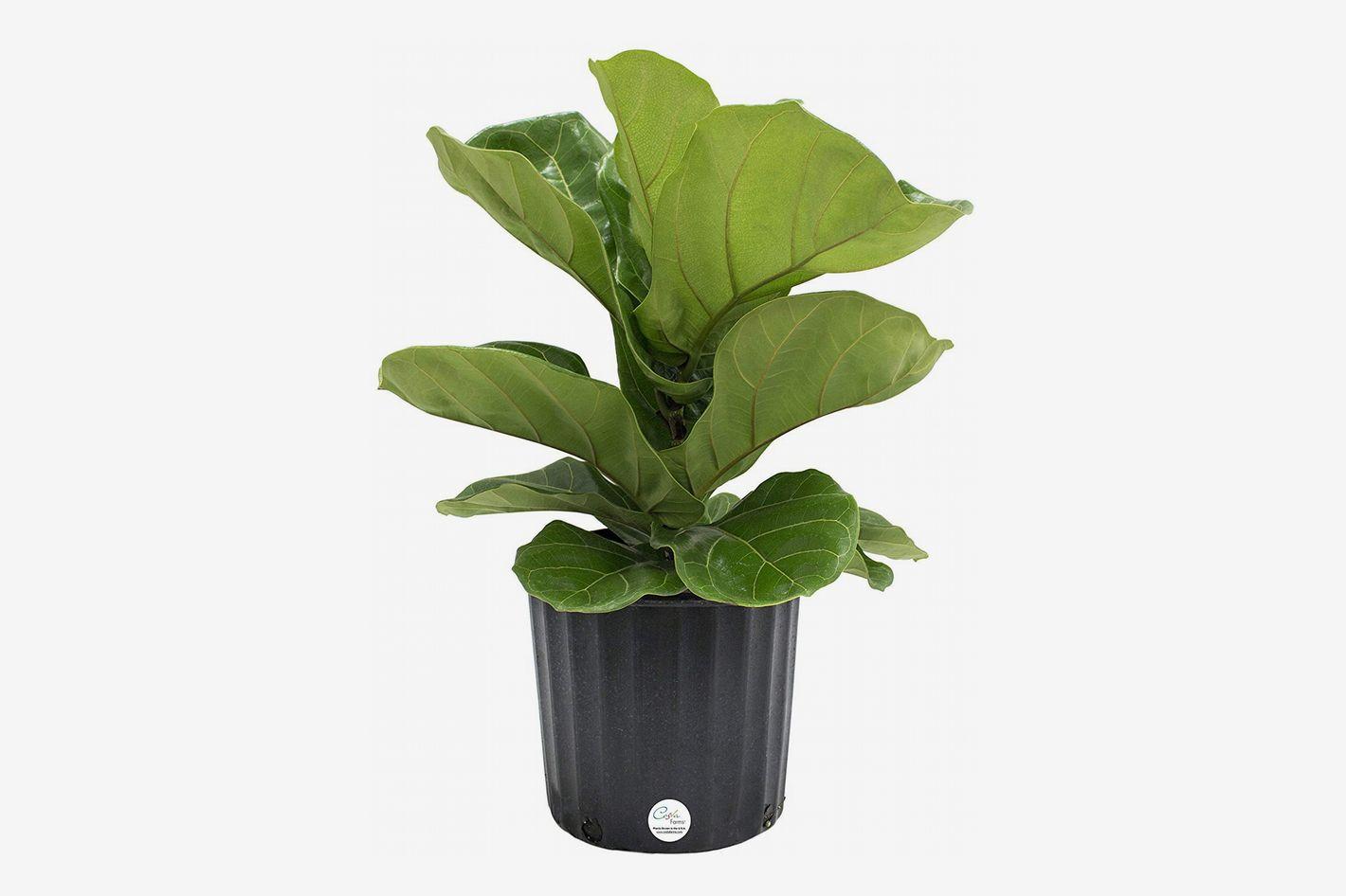 Costa Farms Ficus Lyrata, Fiddle-Leaf Fig Floor Plant