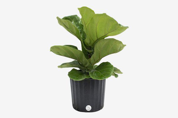 Costa Farms Fiddle-Leaf Fig, 2-Feet-Tall in Grow Pot
