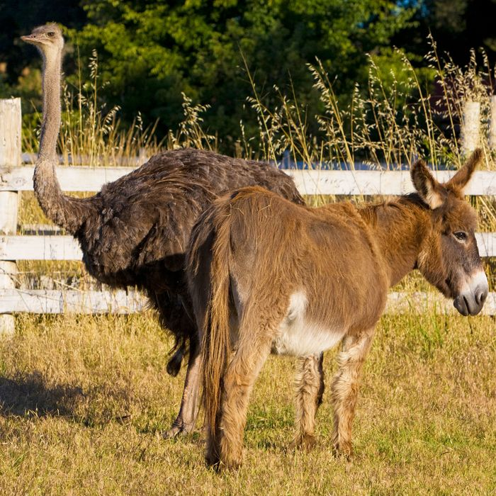 Emu and donkey.