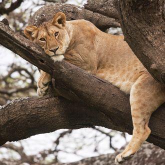 Female lion (Panthera leo) Ndutu, Tanzania, Africa