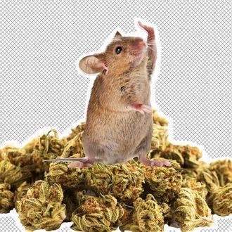 A mouse, marijuana nuggets.