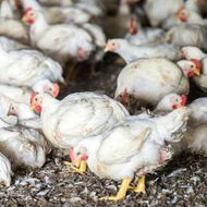 Here's Why Supersize Chickens Are the Next Animal-Welfare Fight