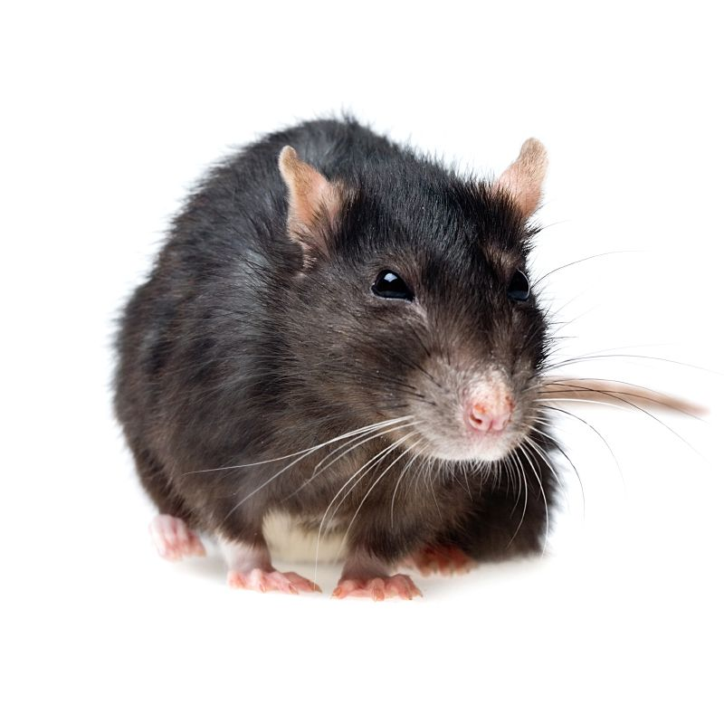funny grey rat closeup on white background