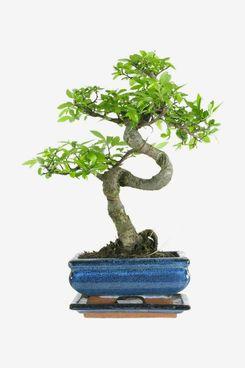 Chinese Elm, Bonsai, 7 years, 27 to 32 Centimetres