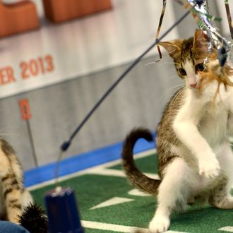 **Embargoed til 2/5/2013** NEW YORK CITY, NY - NOVEMBER 11: Kittens play on the halftime set at the taping of Animal Planet's