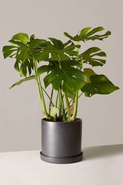 The Sill Large Monstera