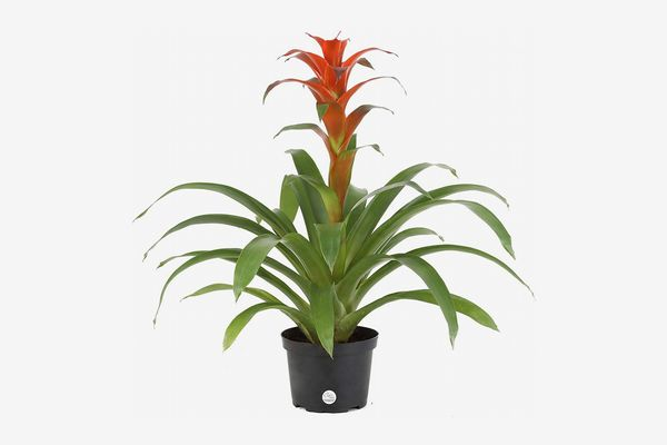 Costa Farms Live Bromeliad Indoor Tabletop Plant in 6-Inch Grower's Pot