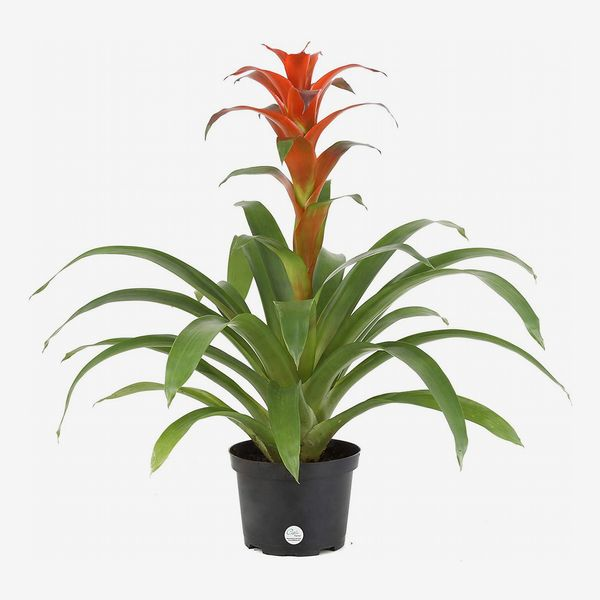 costa farms live bromeliad indoor tabletop plant in 6-inch grower's pot - strategist best bromeliad plant