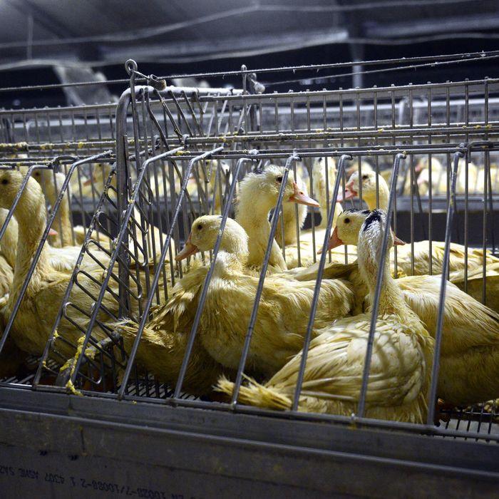 A foie gras feedlot in France.