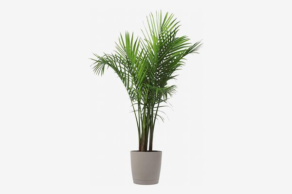 Costa Farms Majesty Palm Tree, Live Indoor Plant, 3 to 4-Feet Tall with Décor Planter