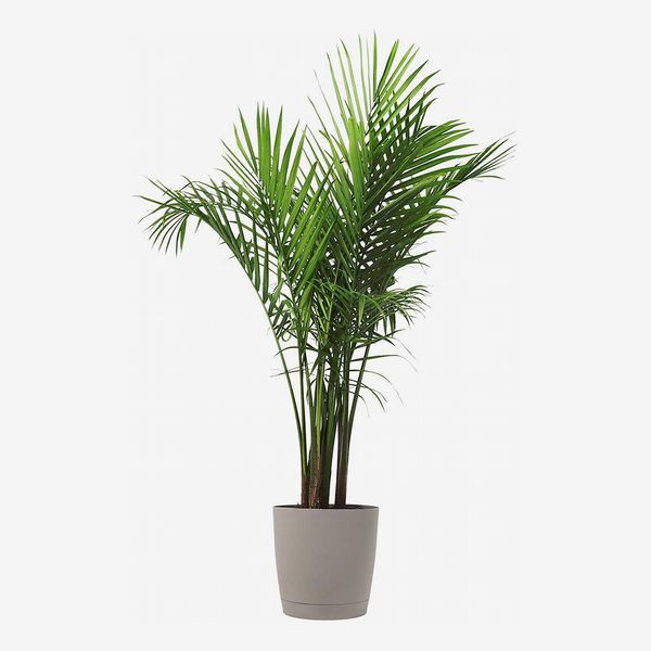 costa farms majesty palm tree, live indoor plant, 3 to 4-feet tall with decor planter - strategist best majesty palm tree