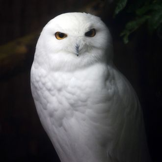 A snowy owl is pictured, on November 13, 2014, at the zoo, in Mulhouse, eastern France.