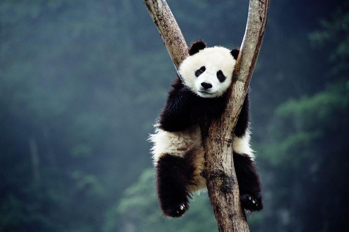 Pandas! Puppies! Babies!