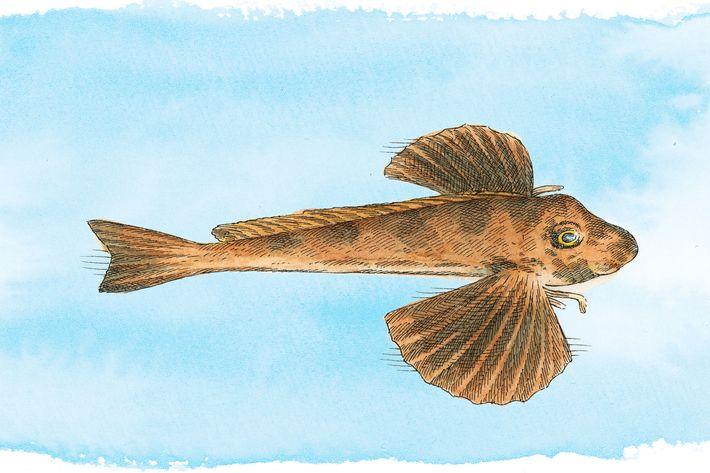 Sea Robin