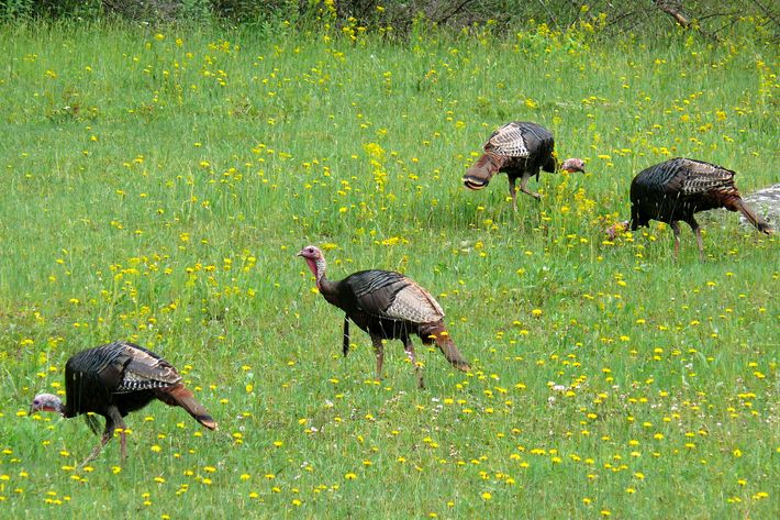 Wild-turkey surprise.