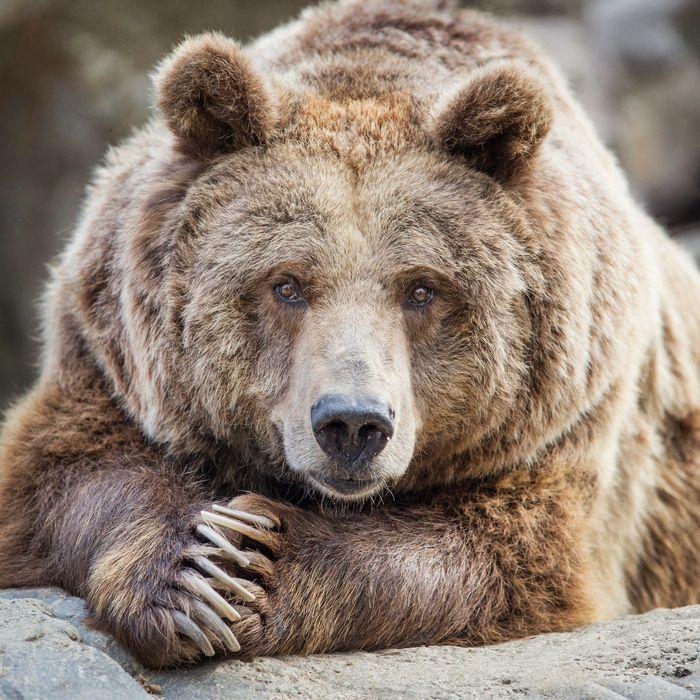 Behold, a fat bear.