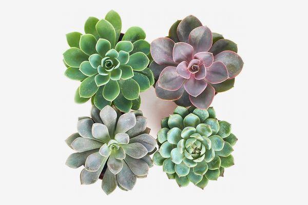 Shop Succulents Echeveria Rosettes