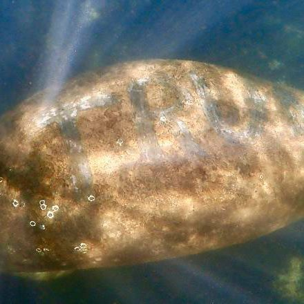 The manatee with