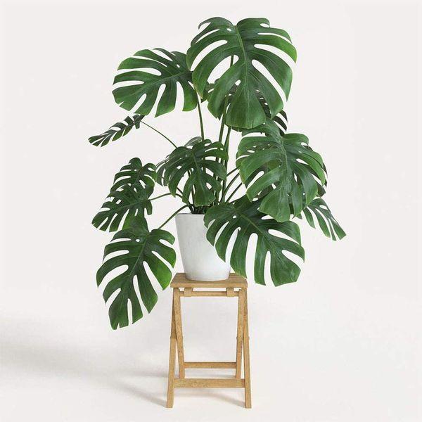 American Plant Exchange Split Leaf Philodendron Monstera Deliciosa