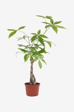 Shop Succulents Live Money Tree
