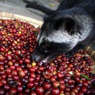 World's Most Expensive Coffee Requires Actual Animal Torture