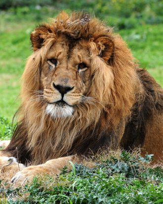 Lion Aquiles father of the four cubs bear at the Parque Lecocq zoo last May 20, in Montevideo rests on August 07, 2009. After 10 years without births, a couple of lions bred four cubs which is not usual in captivity lions.